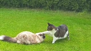 Cat boops other cat on the head, then runs away