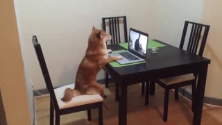 Dog Sits Like Human, Watches Videos On Laptop
