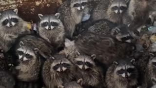 Found a den of raccoons