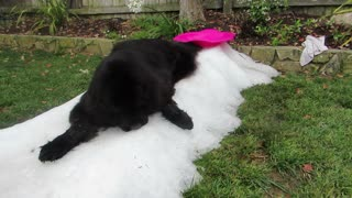 Nothing is too cold for this giant Newfoundland dog!