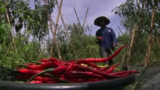 Extreme price volatility on Indonesian chillies