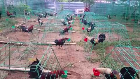 Feeding to Cocks in Cages