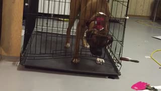 Genius Dog Escapes Cage! - Video