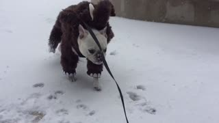 French Bulldog sports Mammoth outfit during Boston snowstorm - Video