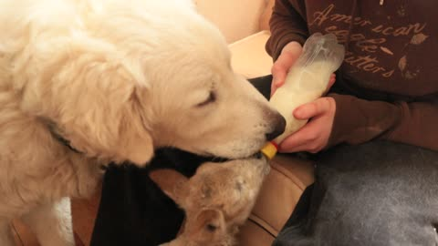 Guard dog helps keep lamb tidy during bottle feeding