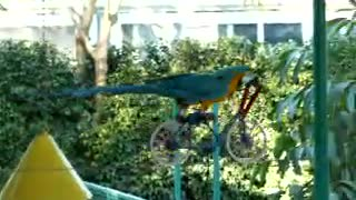 Funny Animals - Parrot stunt riding bicycles on a wire in the air - Video