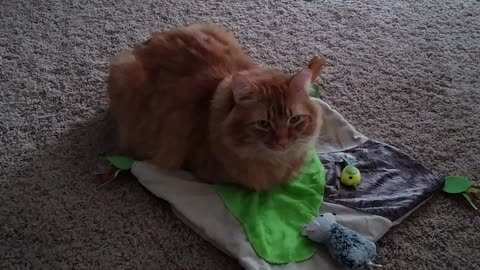 Mango Chills On His Toy Blanket