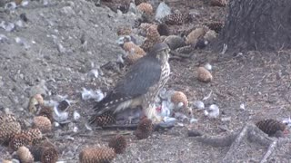Young Hawk Eats Adult Pigeon - Video