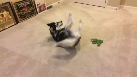 Siberian Husky has moment of insanity