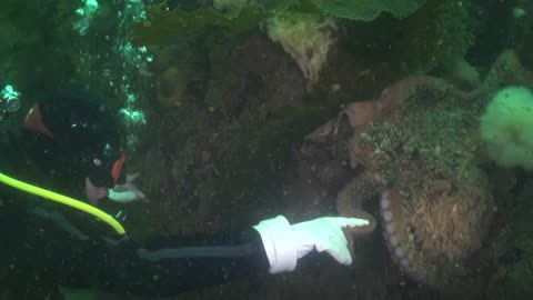 Scuba Diver Shakes Hands with a Giant Pacific Octopus