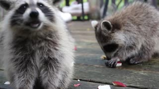 Friendly Raccoons Visit Deck Every Morning For Snacks