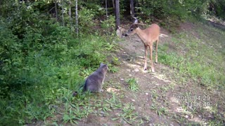 Selfish cat refuses to share food with deer