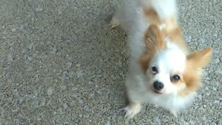 Dog adorably begs for bone - Video