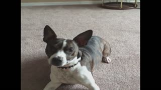 Dog has amazing trick commands - Video