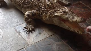 What Do You Feed a Pet Crocodile? - Video