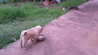 One Tough Pug - Video