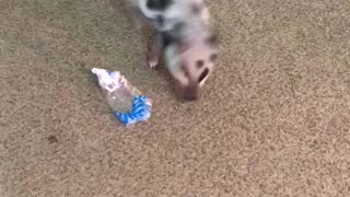 Little piglet adorably plays with plastic wrapping - Video