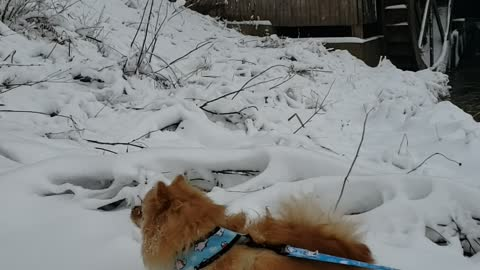 Pom Puppy excitedly enjoys first snowfall of the year!