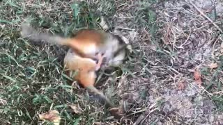 Chipmunks Playing in the Yard