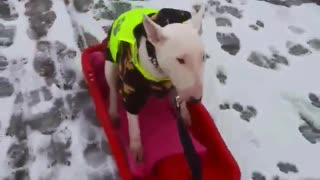 Pup goes for sled ride just like a kid