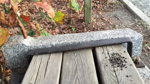 Squirrel eating Sunflower seeds on picnic bench