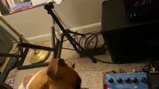 Boxer Pup Perplexed by Strange Guitar Sounds