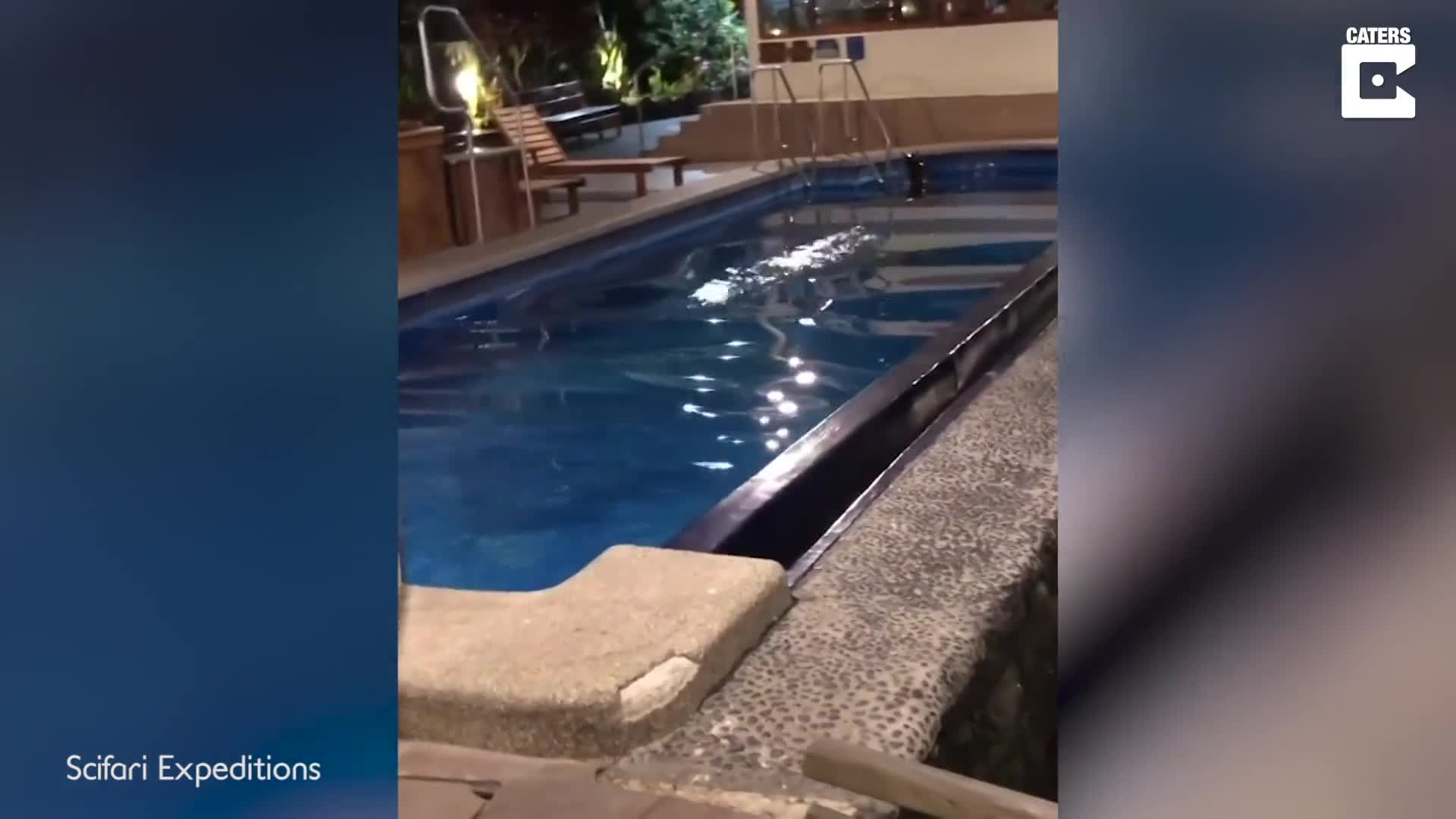 SWIMMING POOL GETS THE SEAL OF APPROVAL AS SEA LION TAKES A DIP