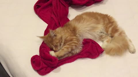 Cat makes love to her red blanket