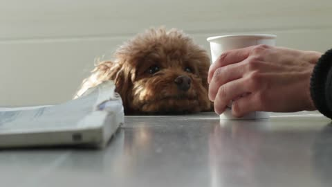 Adorable Dog Eyeing a Latte