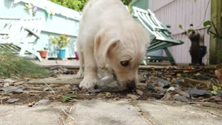 Little Labrador Poodle Cross Puppy with a plastic water bottle