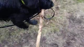 Black dog walking with stick in mouth cant pass trees