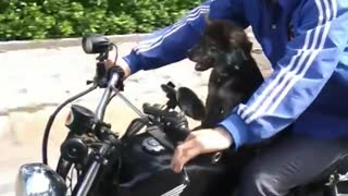 Scared dog  on Motorcycle  Vietnam  - Video