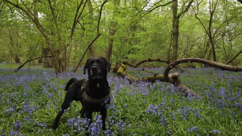a 4 minute walk in the bluebell meadow with a playfull dog
