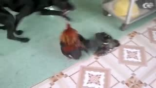 The dog playing with the rooster makes everyone surprised  - Video