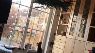 Hanging Christmas Tree Doesn't Deter Kitty