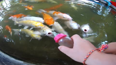 Kids Feeding Koi Fish In Thailand With Baby Bottles