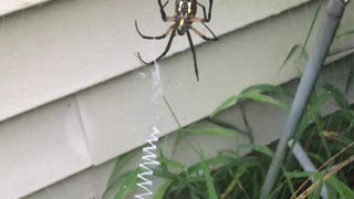 Garden Spider Finishing Her Web