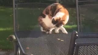 Cat falling down table  - Video