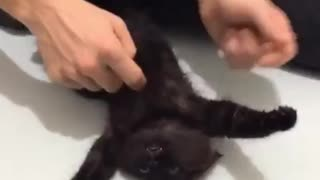 Rescued feral cat discovers the wonderful world of belly rubs - Video