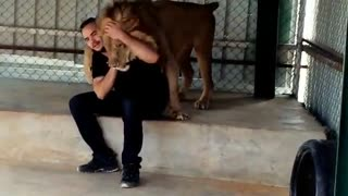 Sweet lion hugs his owner - Video