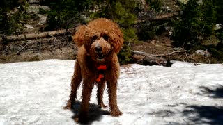 Goldendoodle found a patch of snow