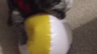 Dog loves beach balls!
