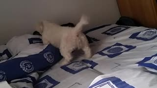 Small white dog runs around blue sheets on bed