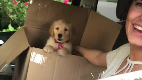 Golden Retriever Puppy Learns How To Howl