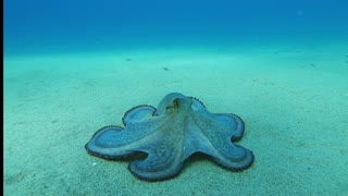 Octopus Glides Along Ocean Floor