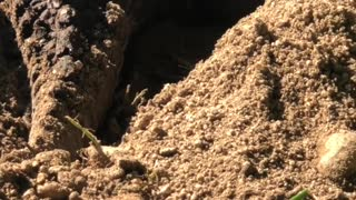 Turtle Laying Eggs Dangerous Capture