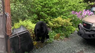 Bear Tries to Break in to Bear Proof Trash Can