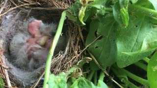 Newborn Baby Birds  - Video