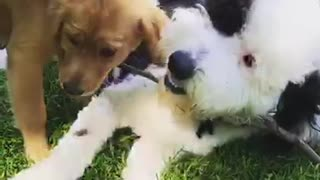 Puppy retriever chases stick in white dogs mouth - Video
