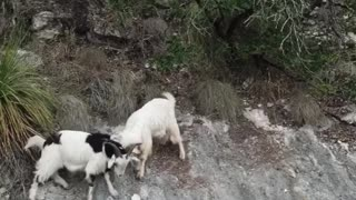 Two Wild Goats Fighting!